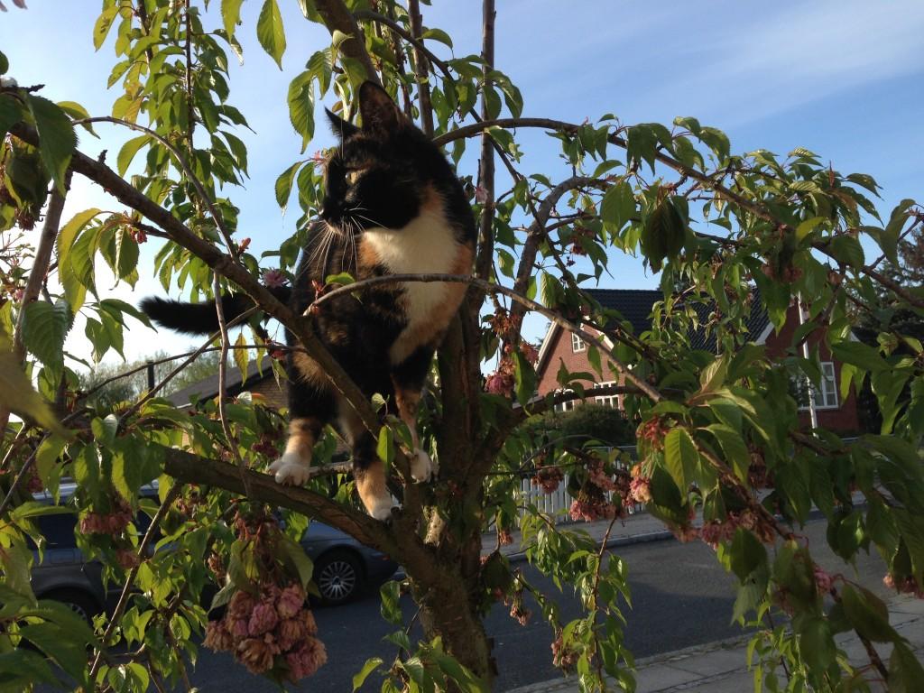 Felicia i vores japanske kirsebær
