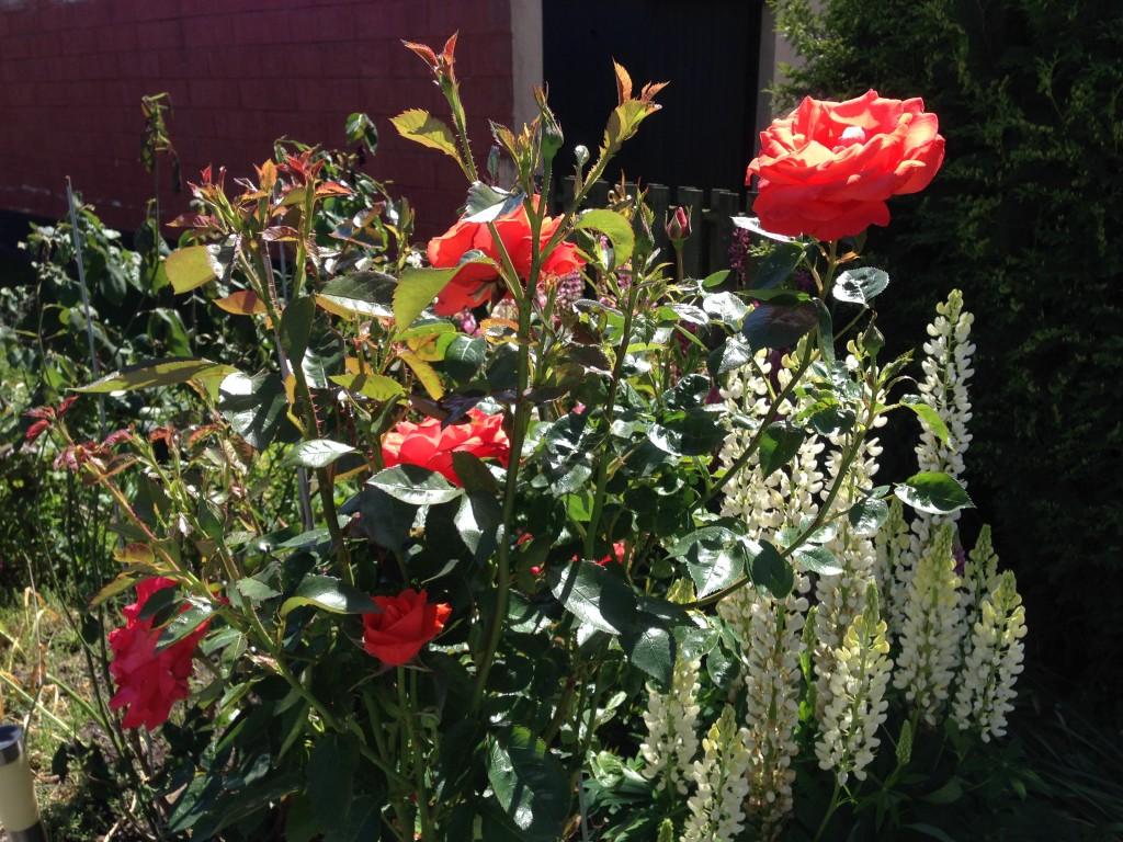 Rose i baghaven