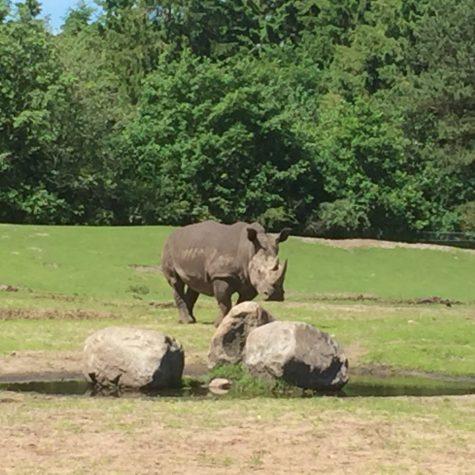 Givskud Zoo - Næsehorn